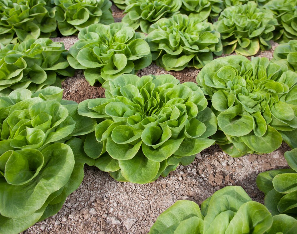 Rijk Zwaan lettuce on the field